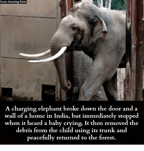Trunking: Some Some Amazing Facts  A charging elephant broke down the door and a  wall of a home in India, but immediately stoppe  when it heard a baby crying. It then removed the  debris from the child using its trunk and  peacefully returned to the forest.