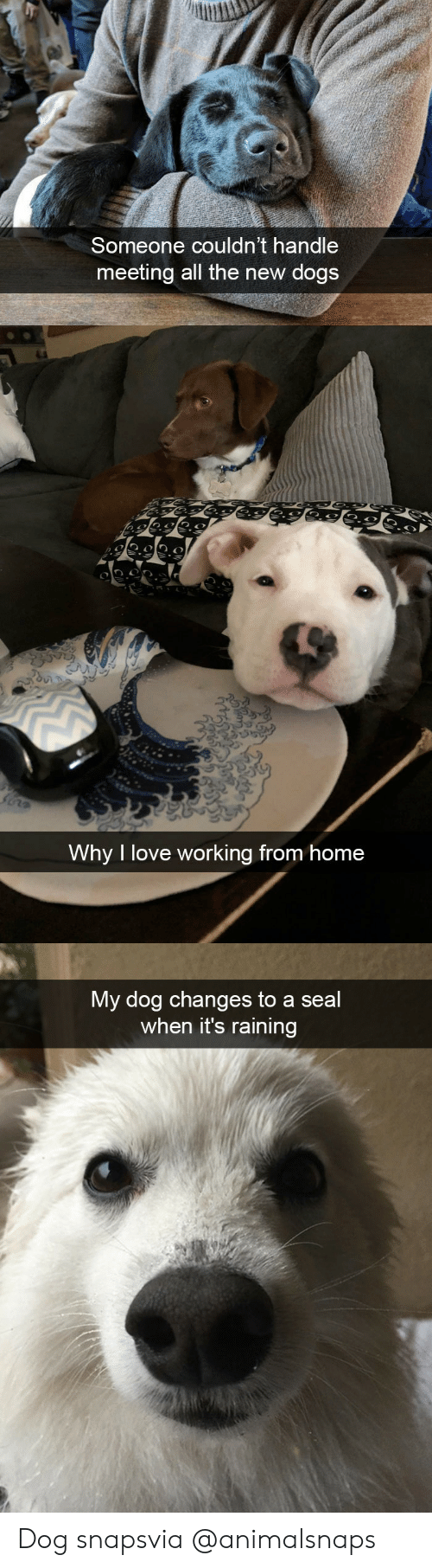 its-raining: Someone couldn't handle  meeting all the new dogs   Why I love working from home   My dog changes to a seal  when it's raining Dog snapsvia @animalsnaps