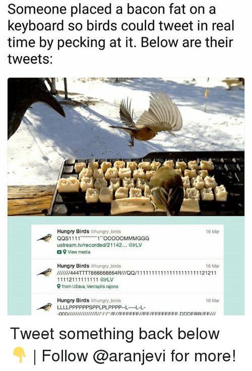 Hungry, Memes, and Birds: Someone placed a bacon fat on a  keyboard so birds could tweet in real  time by pecking at it. Below are their  tweets:  6 Mar  Hungry Birds ehungry birds  QQS1111  11 OOO0OMMMGGG  ustream.tv/recorded/21142... irLV  a View media  Hungry Birds @hungry.birds  16 Mar  9 from Užava, Ventspils rajons  Hungry Birds ehungry birds  LLLLPPPPPPSPPLPLPPPP--LL  16 Mar Tweet something back below 👇 | Follow @aranjevi for more!
