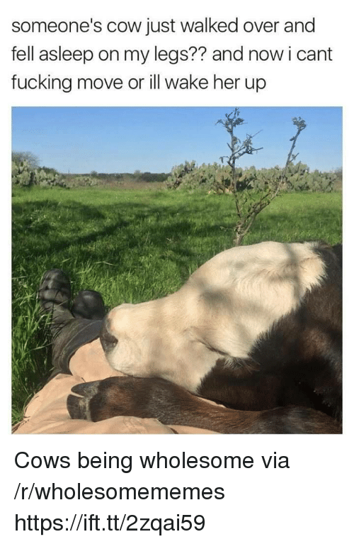 Fucking, Wholesome, and Her: someone's cow just walked over and  fell asleep on my legs?? and now i cant  fucking move or ill wake her up Cows being wholesome via /r/wholesomememes https://ift.tt/2zqai59