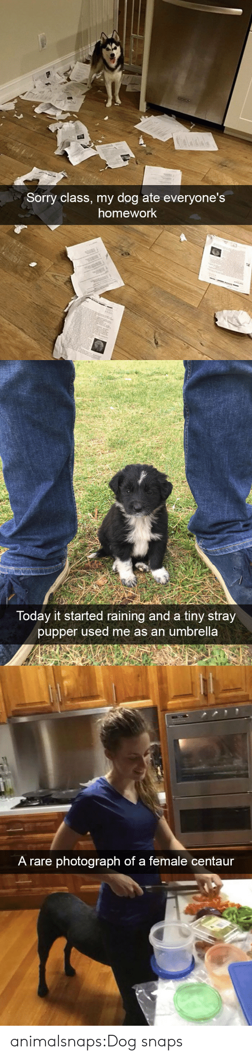 raining: Sorry class, my dog ate everyone's  homework   Today it started raining and a tiny stray  pupper used me as an umbrella   A rare photograph of a female centaur animalsnaps:Dog snaps