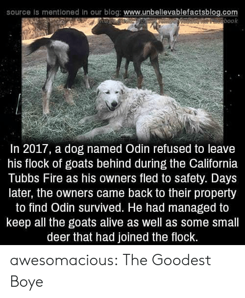 Alive, Deer, and Fire: source is mentioned in our blog: www.unbellevablefactsblog.com  aveebook  In 2017, a dog named Odin refused to leave  his flock of goats behind during the California  Tubbs Fire as his owners fled to safety. Days  later, the owners came back to their property  to find Odin survived. He had managed to  keep all the goats alive as well as some small  deer that had joined the flock. awesomacious:  The Goodest Boye
