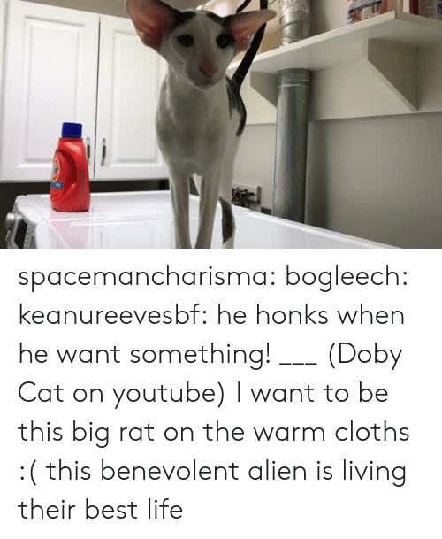 cloths: spacemancharisma: bogleech:  keanureevesbf: he honks when he want something! ___ (Doby Cat on youtube) I want to be this big rat on the warm cloths :(   this benevolent alien is living their best life