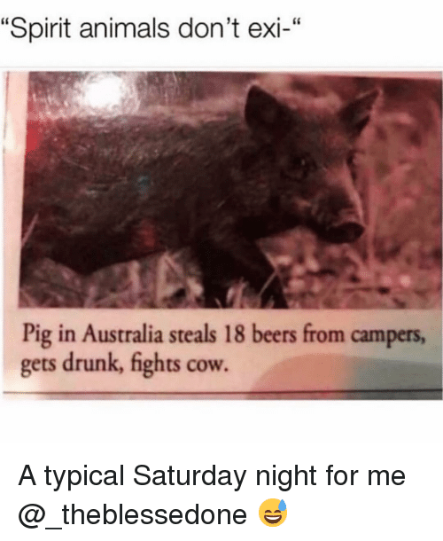 """Animals, Drunk, and Funny: """"Spirit animals don't exi-""""  Pig in Australia steals 18 beers from campers,  gets drunk, fights cow. A typical Saturday night for me @_theblessedone 😅"""