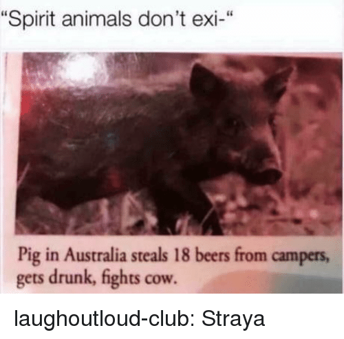 "Animals, Club, and Drunk: ""Spirit animals don't exi-""  Pig in Australia steals 18 beers from campers  gets drunk, fights cow laughoutloud-club:  Straya"