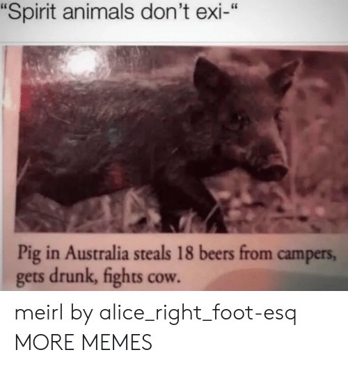 "alice: ""Spirit animals don't exi-""  Pig in Australia steals 18 beers from campers,  gets drunk, fights cow. meirl by alice_right_foot-esq MORE MEMES"