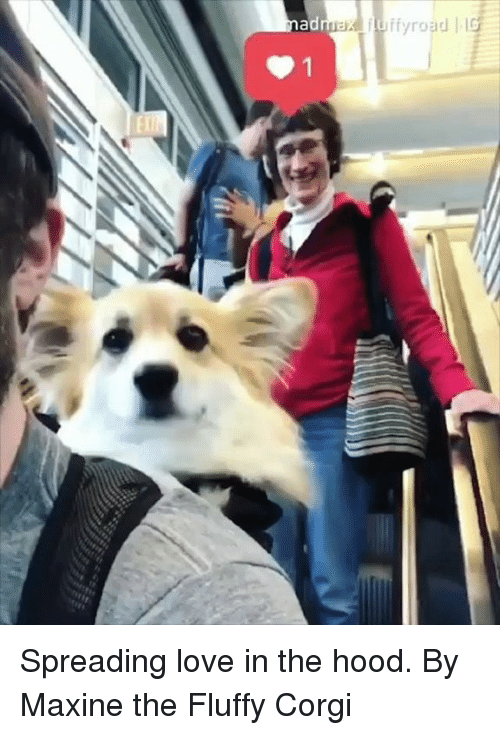 In The Hood: Spreading love in the hood.  By Maxine the Fluffy Corgi