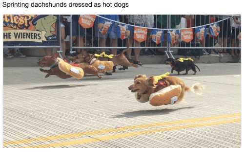 dachshunds: Sprinting dachshunds dressed as hot dog:s  USA  HE WIENERS  arity