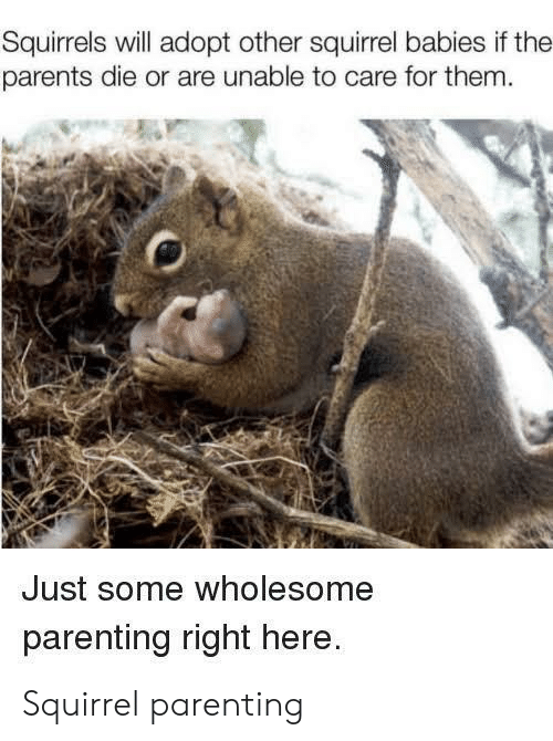 squirrels: Squirrels will adopt other squirrel babies if the  parents die or are unable to care for them.  Just some wholesome  parenting right here. Squirrel parenting