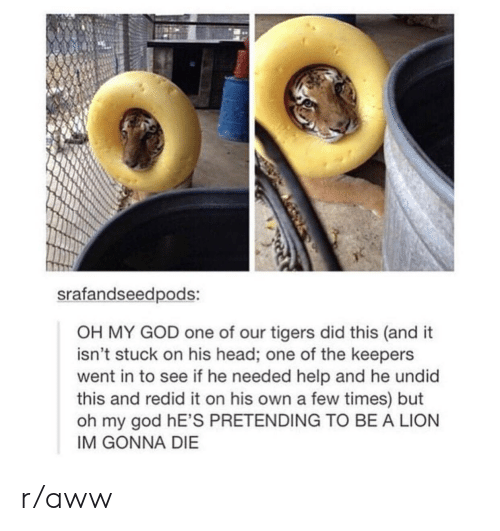 Im Gonna Die: srafandseedpods:  OH MY GOD one of our tigers did this (and it  isn't stuck on his head; one of the keepers  went in to see if he needed help and he undid  this and redid it on his own a few times) but  oh my god hE'S PRETENDING TO BE A LION  IM GONNA DIE r/aww