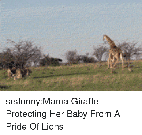 Tumblr, Blog, and Giraffe: srsfunny:Mama Giraffe Protecting Her Baby From A Pride Of Lions
