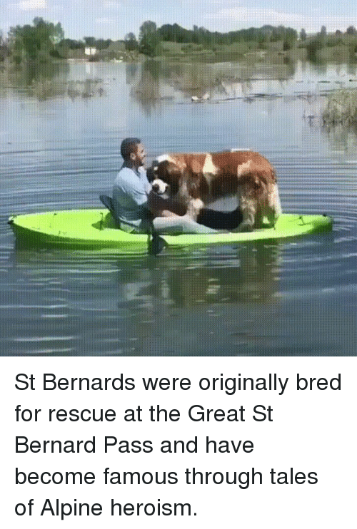 Bernard: St Bernards were originally bred for rescue at the Great St Bernard Pass and have become famous through tales of Alpine heroism.