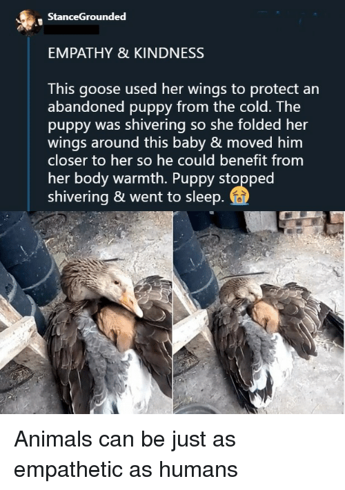 benefit: StanceGrounded  EMPATHY & KINDNESS  This goose used her wings to protect an  abandoned puppy from the cold. The  puppy was shivering so she folded her  wings around this baby & moved him  closer to her so he could benefit from  her body warmth. Puppy stopped  shivering & went to sleep Animals can be just as empathetic as humans