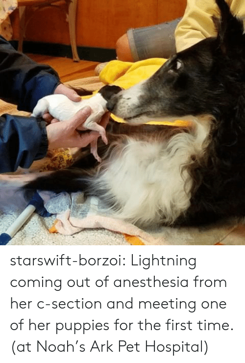 Puppies, Tumblr, and Noah: starswift-borzoi:  Lightning coming out of anesthesia from her c-section and meeting one of her puppies for the first time. (at Noah's Ark Pet Hospital)
