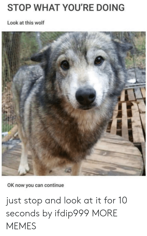 Dank, Memes, and Target: STOP WHAT YOU'RE DOING  Look at this wolf  OK now you can continue just stop and look at it for 10 seconds by ifdip999 MORE MEMES