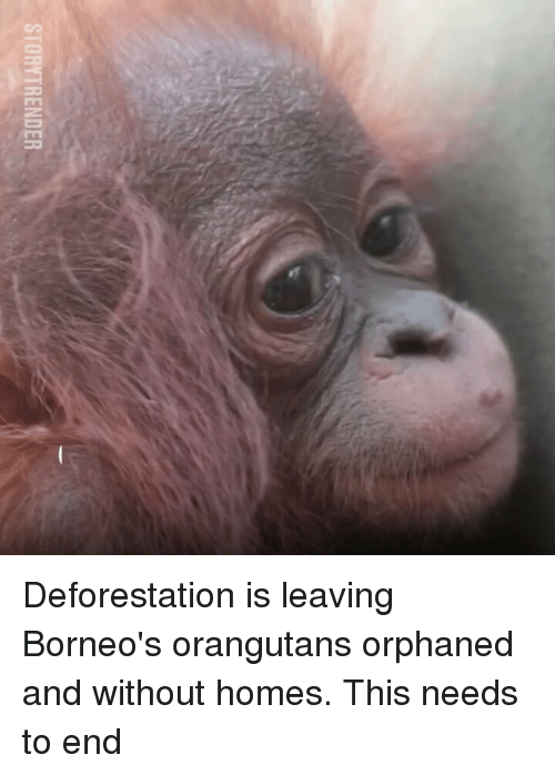 deforestation: STORYTRENDER Deforestation is leaving Borneo's orangutans orphaned and without homes. This needs to end