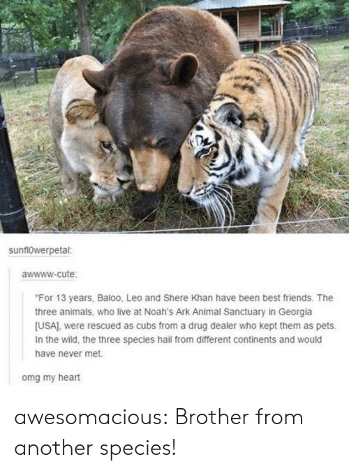 "Cubs: sunf10werpetal:  awwww-cute  ""For 13 years, Baloo, Leo and Shere Khan have been best friends. The  three animals, who live at Noah's Ark Animal Sanctuary in Georgia  [USA), were rescued as cubs from a drug dealer who kept them as pets.  In the wild, the three species hail from different continents and would  have never met.  omg my heart awesomacious:  Brother from another species!"
