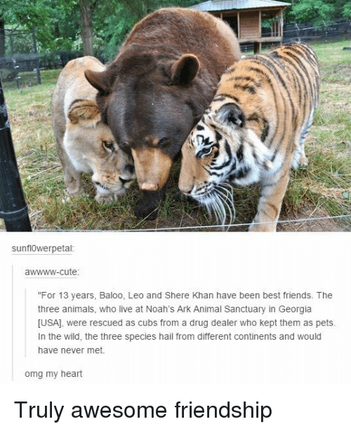 "Animals, Cute, and Drug Dealer: sunflOwerpetal  awwww-cute  ""For 13 years, Baloo, Leo and Shere Khan have been best friends. The  three animals, who live at Noah's Ark Animal Sanctuary in Georgia  [USA], were rescued as cubs from a drug dealer who kept them as pets  In the wild, the three species hail from different continents and would  have never met.  omg my heart Truly awesome friendship"