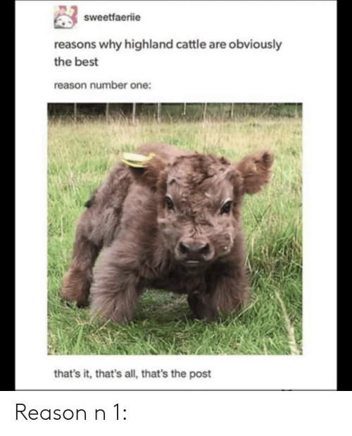 Best, Reason, and One: sweetfaeriie  reasons why highland cattle are obviously  the best  reason number one:  that's it, that's all, that's the post Reason n 1: