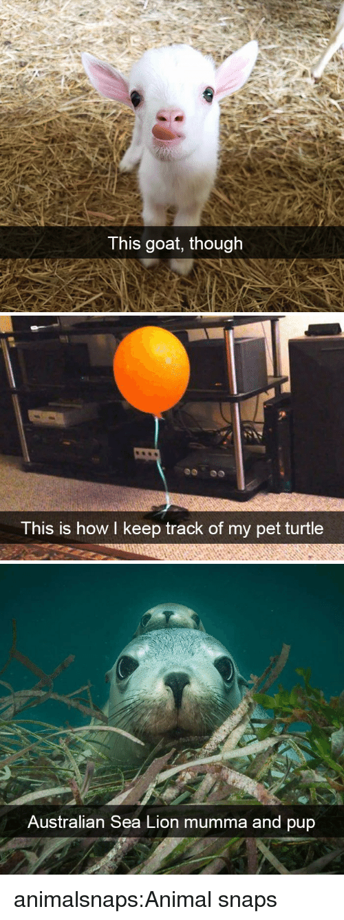 Target, Tumblr, and Goat: T his goat, though   This is how I keep track of my pet turtle   Australian Sea Lion mumma and pup animalsnaps:Animal snaps