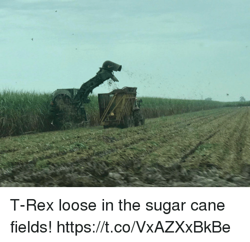 Sugar, Faces-In-Things, and T Rex: T-Rex loose in the sugar cane fields! https://t.co/VxAZXxBkBe