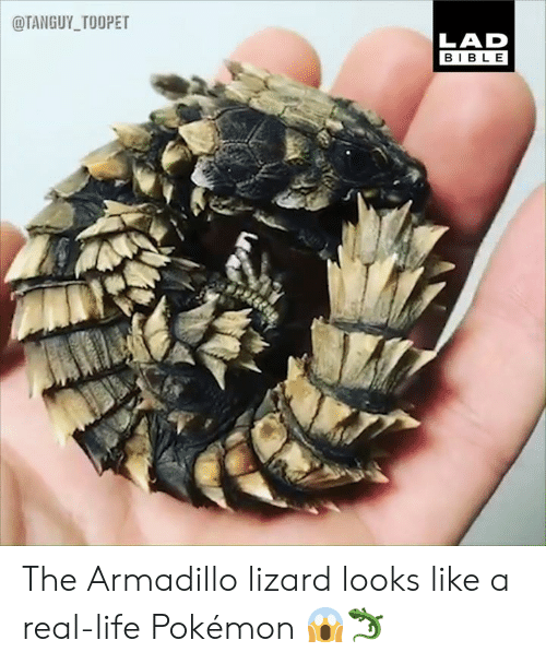 armadillo: @TANGUY_TOOPET  LAD  BIBLE The Armadillo lizard looks like a real-life Pokémon 😱🦎
