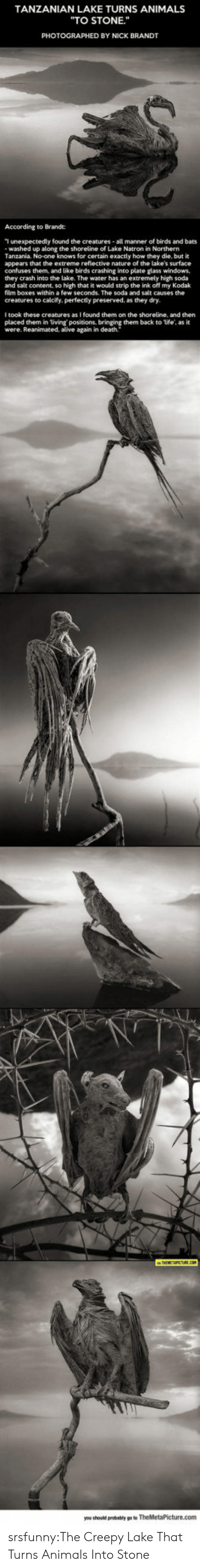 """Alive, Animals, and Creepy: TANZANIAN LAKE TURNS ANIMALS  """"TO STONE.""""  PHOTOGRAPHED BY NICK BRANDT  According to Brande:  T unexpectedly found the creatures all manner of birds and bats  washed up along the shoreline of Lake Natron in Northern  Tanzania. No-one knows for certain exactly how they die, but it  appears that the extreme refiective nature of the lake's surface  confuses them, and like birds crashing into plate glass windows,  they crash into the lake. The water has an extremely high soda  and salt content, so high that it would strip the ink off my Kodak  film boxes within a few seconds. The soda and salt causes the  creatures to calcify, perfectly preserved, as they dry.  I took these creatures as I found them on the shoreline, and then  placed them in living positions, bringing them back to life, as it  were. Reanimated, alive again in death. srsfunny:The Creepy Lake That Turns Animals Into Stone"""