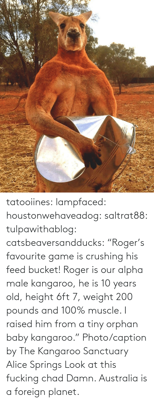 "alice: tatooiines: lampfaced:  houstonwehaveadog:  saltrat88:  tulpawithablog:  catsbeaversandducks:  ""Roger's favourite game is crushing his feed bucket! Roger is our alpha male kangaroo, he is 10 years old, height 6ft 7, weight 200 pounds and 100% muscle. I raised him from a tiny orphan baby kangaroo."" Photo/caption by The Kangaroo Sanctuary Alice Springs   Look at this fucking chad    Damn.   Australia is a foreign planet."
