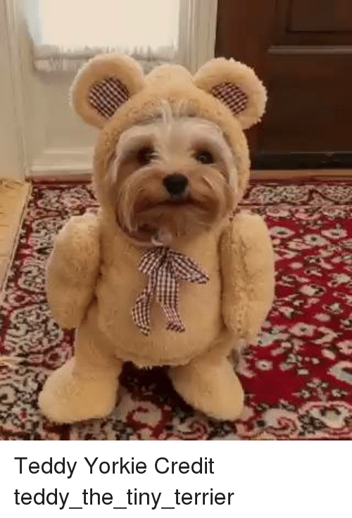 Yorkie: Teddy Yorkie Credit teddy_the_tiny_terrier