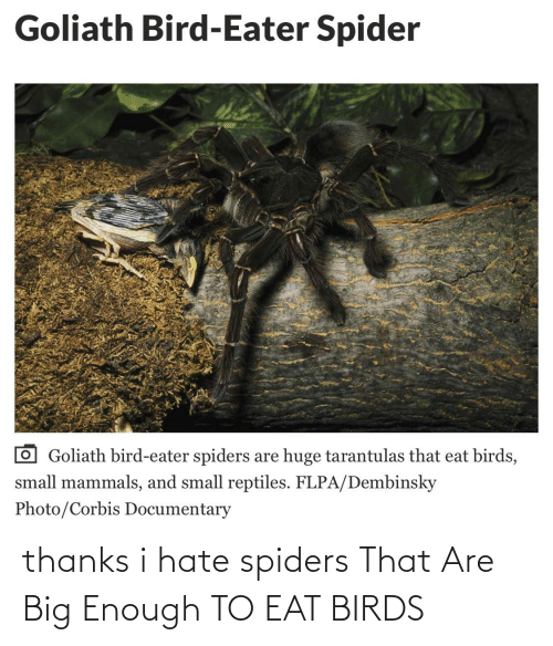 Spiders: thanks i hate spiders That Are Big Enough TO EAT BIRDS