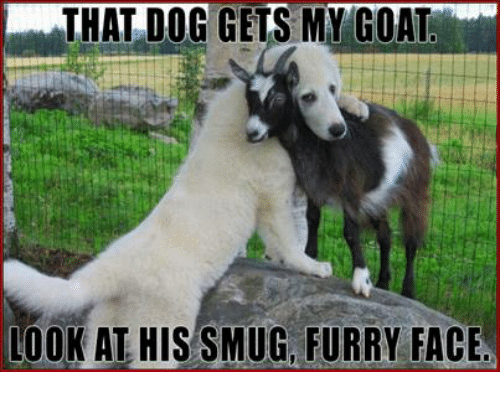 that dog gets my goat look at his smug furry face meme on