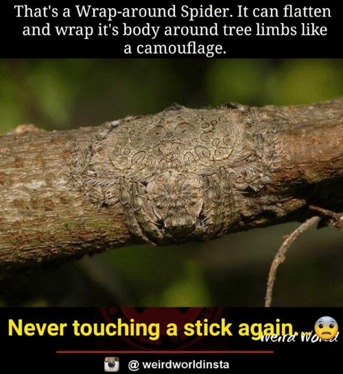 Memes, Spider, and Tree: That's a Wrap-around Spider. It can flatten  and wrap it's body around tree limbs like  a camouflage.  Never touching a stick againe w  @ weirdworldinsta