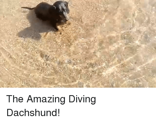 dachshunds: The Amazing Diving Dachshund!