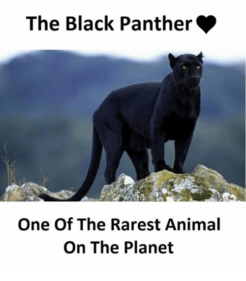 Rarest Animal: The Black Panther  One Of The Rarest Animal  On The Planet