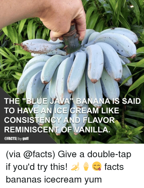 "Icecream: THE ""BLUE JAVA BANANAIS SAID  TO HAVE ANICE CREAM LIKE  CONSISTENCY AND FLAVOR  REMINISCENT OF VANILLA  @FACTSI by guff (via @facts) Give a double-tap if you'd try this! 🍌🍦😋 facts bananas icecream yum"