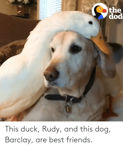 dod: the  dod This duck, Rudy, and this dog, Barclay, are best friends.
