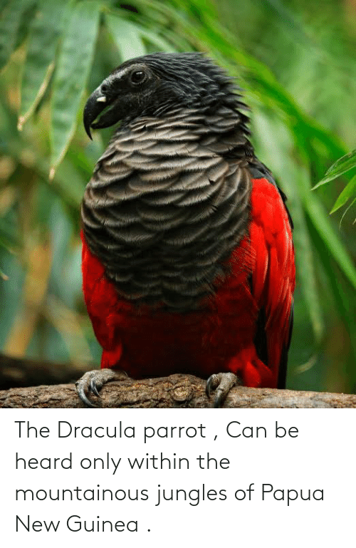 Jungles: The Dracula parrot , Can be heard only within the mountainous jungles of Papua New Guinea .