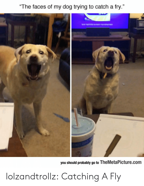 """Tumblr, Blog, and Dog: The faces of my dog trying to catch a fry.""""  you should probably go to TheMetaPicture.com lolzandtrollz:  Catching A Fly"""