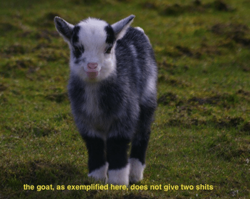 Goat,  Two, and Here: the goat, as exemplified here, does not give two shits
