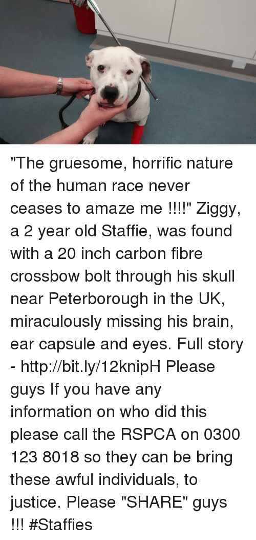 "Rspca: ""The gruesome, horrific nature of the human race never ceases to amaze me !!!!""  Ziggy, a 2 year old Staffie, was found with a 20 inch carbon fibre crossbow bolt through his skull near Peterborough in the UK, miraculously missing his brain, ear capsule and eyes.  Full story - http://bit.ly/12knipH   Please guys If you have any information on who did this please call the RSPCA on 0300 123 8018 so they can be bring these awful individuals, to justice.   Please ""SHARE"" guys【ツ】!!! #Staffies"