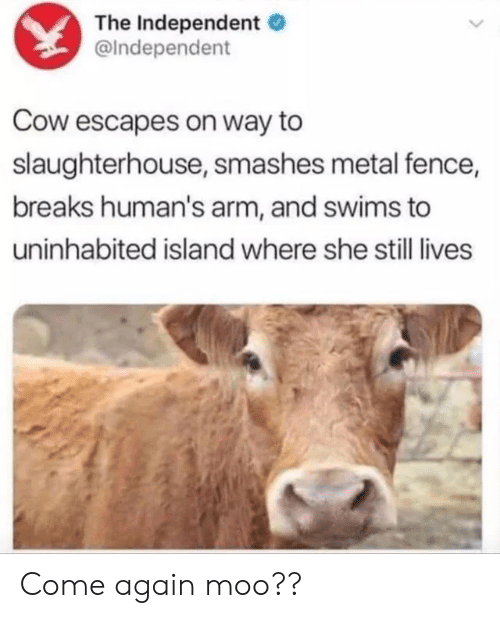 Slaughterhouse, Metal, and Cow: The Independent  @Independent  Cow escapes on way to  slaughterhouse, smashes metal fence,  breaks human's arm, and swims to  uninhabited island where she still lives Come again moo??