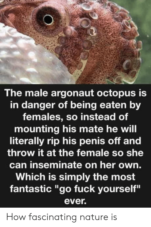 "fascinating: The male argonaut octopus is  in danger of being eaten by  females, so instead of  mounting his mate he will  literally rip his penis off and  throw it at the female so she  can inseminate on her own.  Which is simply the most  fantastic ""go fuck yourself""  ever. How fascinating nature is"