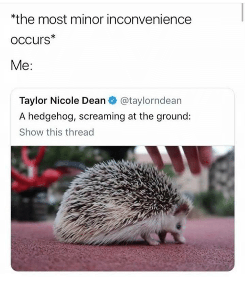 Hedgehog, Inconvenience, and Taylor: *the most minor inconvenience  oCcurs*  Me:  Taylor Nicole Dean@taylorndean  A hedgehog, screaming at the ground:  Show this thread