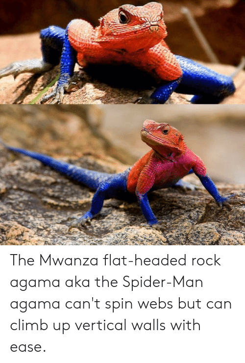 Agama: The Mwanza flat-headed rock agama aka the Spider-Man agama can't spin webs but can climb up vertical walls with ease.