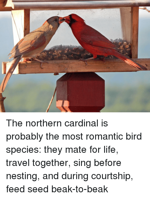 Life, Travel, and Species: The northern cardinal is probably the most romantic bird species: they mate for life, travel together, sing before nesting, and during courtship, feed seed beak-to-beak