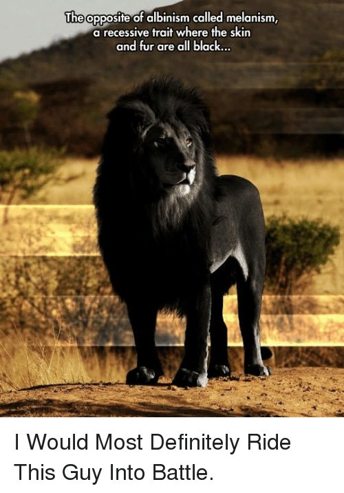 albinism: The opposite of albinism called melanism  a recessive trait where the skin  and fur are all black <p>I Would Most Definitely Ride This Guy Into Battle.</p>