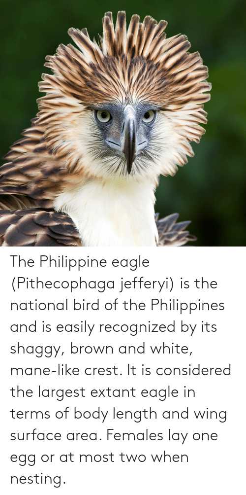 shaggy: The Philippine eagle (Pithecophaga jefferyi) is the national bird of the Philippines and is easily recognized by its shaggy, brown and white, mane-like crest. It is considered the largest extant eagle in terms of body length and wing surface area. Females lay one egg or at most two when nesting.