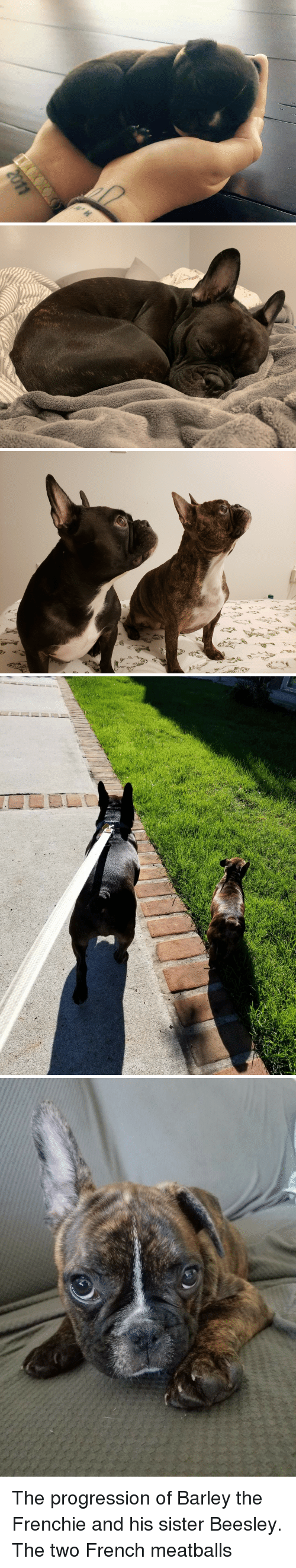 love at first sight: The progression of Barley the Frenchie and his sister Beesley. The two French meatballs