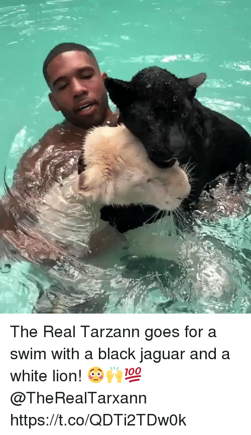 Black, Jaguar, and Lion: The Real Tarzann goes for a swim with a black jaguar and a white lion! 😳🙌💯 @TheRealTarxann https://t.co/QDTi2TDw0k