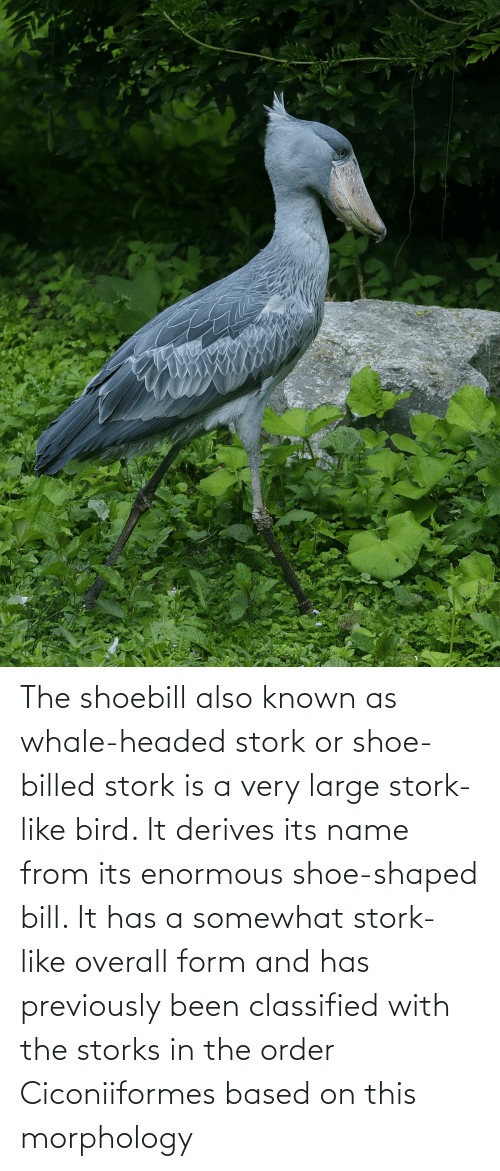 enormous: The shoebill also known as whale-headed stork or shoe-billed stork is a very large stork-like bird. It derives its name from its enormous shoe-shaped bill. It has a somewhat stork-like overall form and has previously been classified with the storks in the order Ciconiiformes based on this morphology